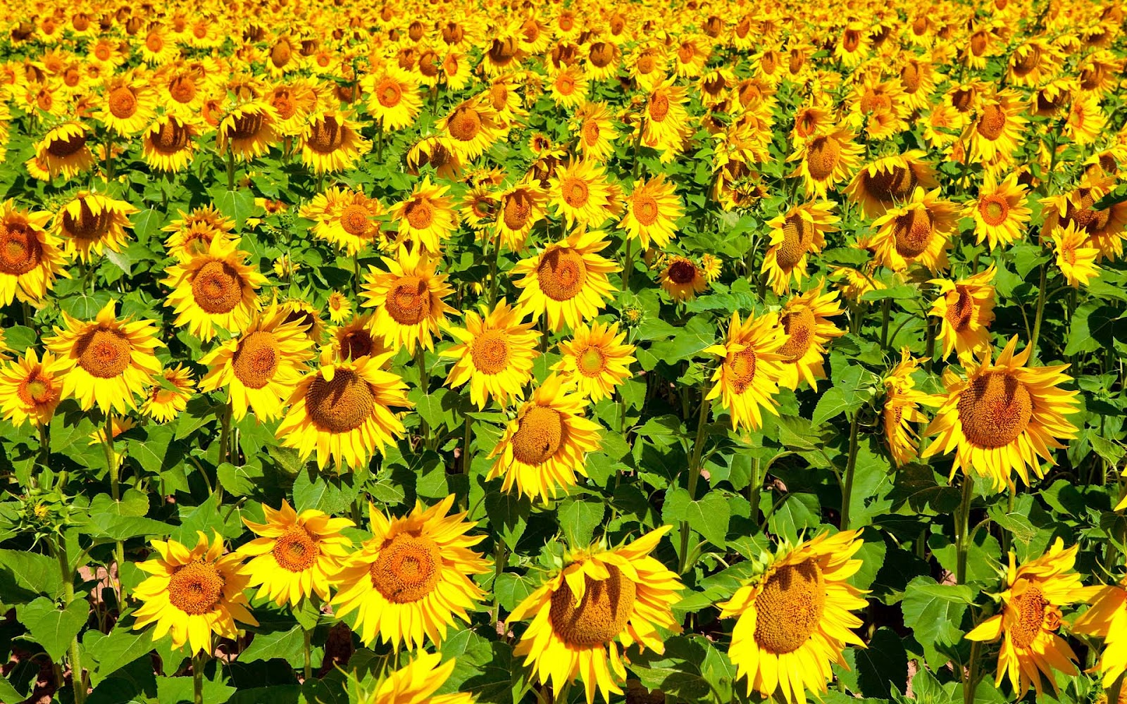 Fall Hd Wallpapers For Mac Hd Sunflowers Wallpapers Top Best Hd Wallpapers For Desktop