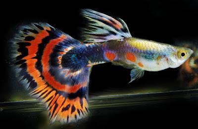 ikan guppy cantik
