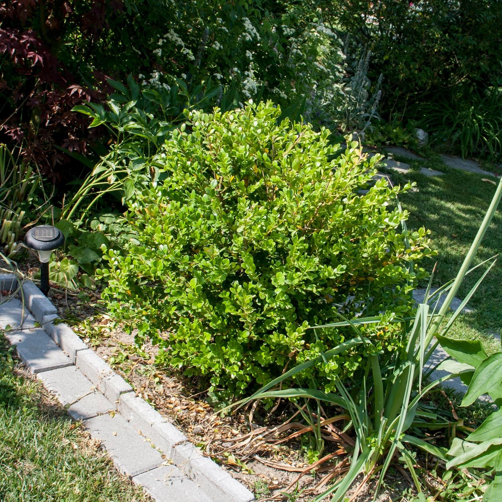 Come Potare A Palla il piccolo giardino di l.: la potatura a sfera del mio bosso