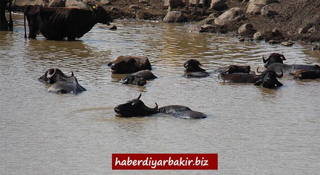 Diyarbakır'da büyükbaş hayvanların gölet keyfi