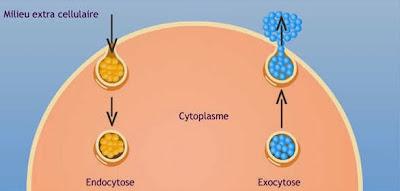 cours infirmier la cellule transports membranaires endocytose exocytose