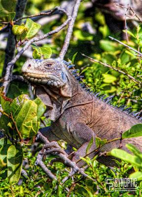 Petite-Terre et ses Iguanes