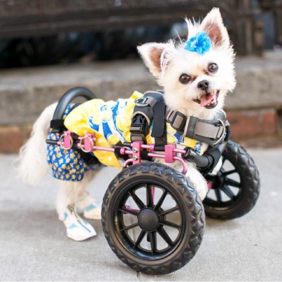 Lexi, the pint-sized advocate for the adoption of specially-abled dogs