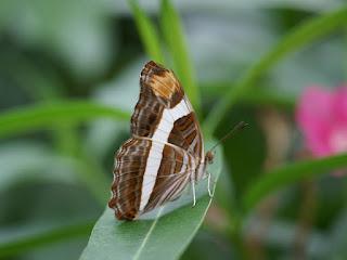 Adelpha fessonia