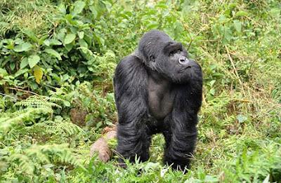gorilla trek, gorilla rwanda, 2 days Rwanda safari, rwanda gorilla trek, budget gorilla trek rwanda, cost of 2 day gorilla trek Rwanda, two day gorilla tracking, gorilla permits rwanda, gorilla tracking rwanda, rwanda tours, rwanda safaris, rwanda tour guides, rwanda tour agent, lake Kivu tours, volcanoes national park, rwanda gorillas, primates rwanda, cultural safari rwanda, gorilla trek tour price rwanda, car hire price rwanda, group tour rwanda