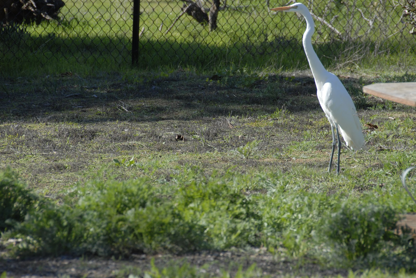 egret roaming around the ranch