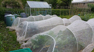 Nets over the brassicas (June 2016)