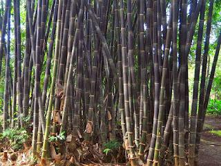 jenis-bambu-wulung.jpg