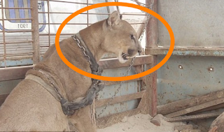 Mountain lion was chained for 20 years, has priceless reaction after finally getting freed