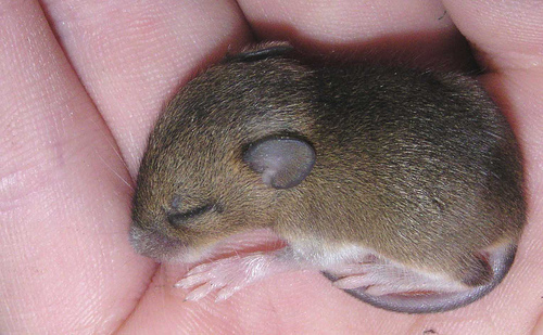 6 baby field mice / Talk about Royton / ILoveRoyton.com