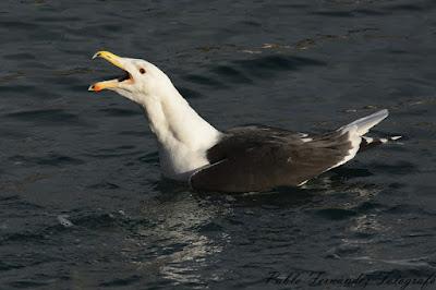 Gavión atlántico (Larus marinus)