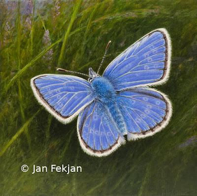 Bilde av digigrafiet 'Tiriltungeblåvengje'. Digitalt trykk laget på bakgrunn av maleri av blå sommerfugl. Illustrasjon av Tiriltungeblåvinge Polyommatus icarus. Hovedmotivet er en blå sommerfugl med lyse tegninger. Bakgrunnen er ei eng med blomster og gress. Bildet er kvadratisk.