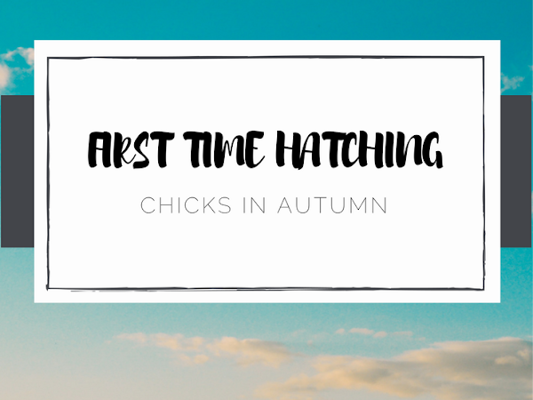 First Time Hatching Chicks Late
