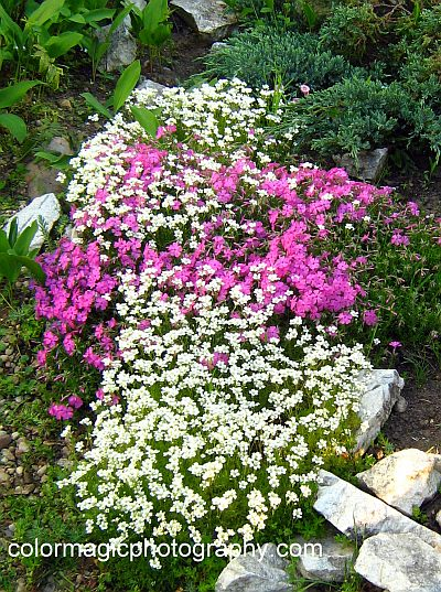 Sweet Alyssum inter-planted with pink phlox in rock garden