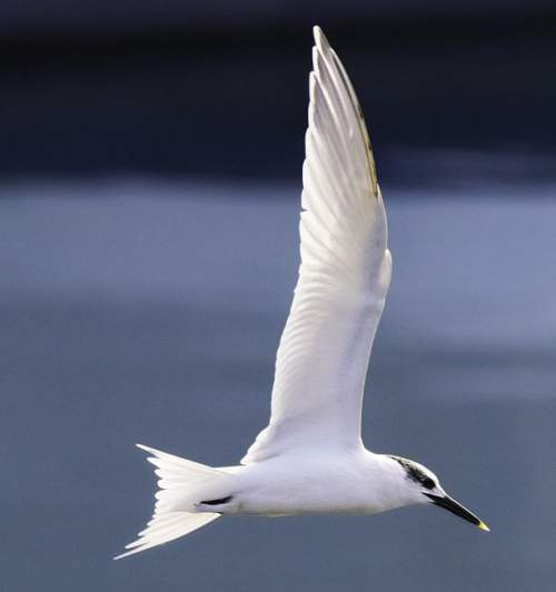 Birds of India - Photo of Sandwich tern - Thalasseus sandvicensis