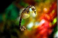 Kuda Laut Bali, Inspirasi dan Eksperimen Para Ilmuan laut
