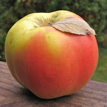 Yellow and pink apple with prominent ribs