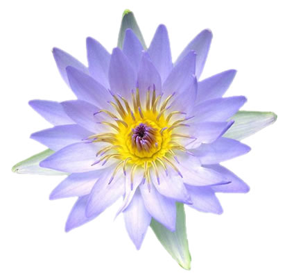 Andromedawaked Global Lotus Flower Symbol And It S Symbolism In Egipt