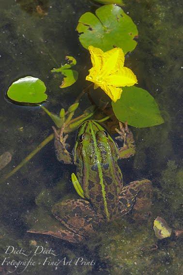 Europäische Seekanne (Nymphoides peltata)
