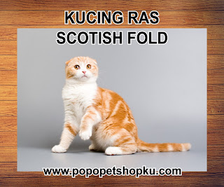 kucing scotish fold