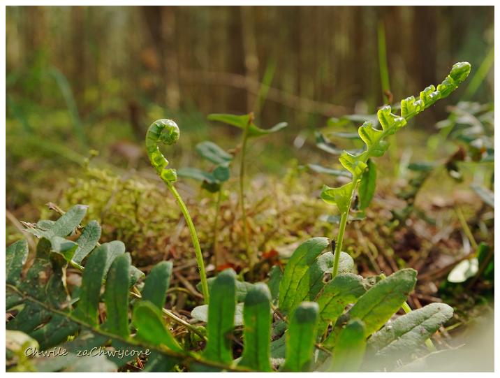 paprotka zwyczajna Polypodium vulgare, młode rośliny