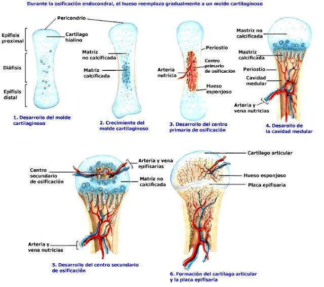 Tejido óseo osificación endocondral