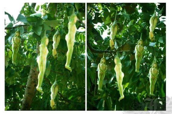 nareepol buah berbentuk tubuh wanita
