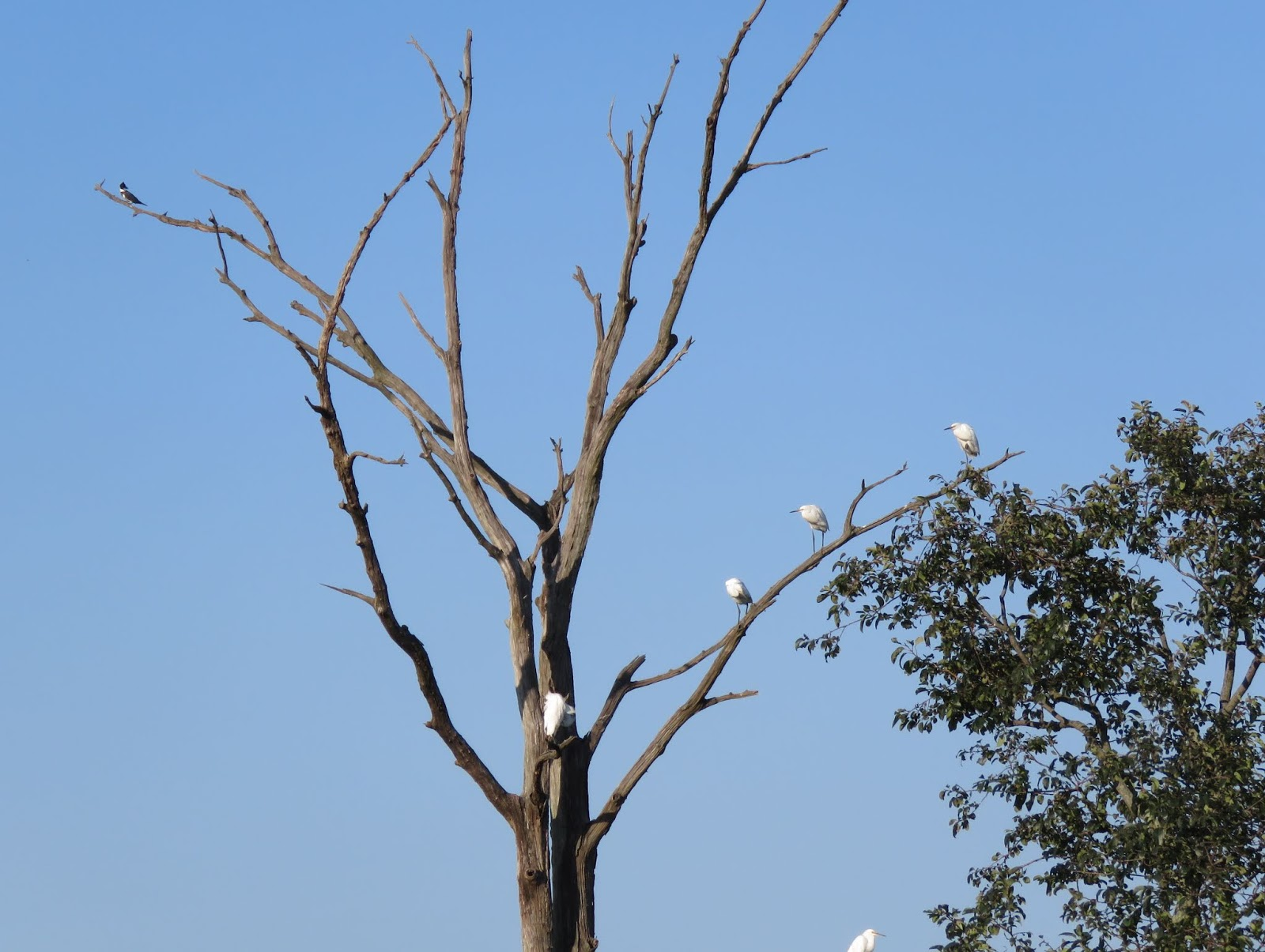 This Tree Has The Kingfisher On Left And Egrets Right
