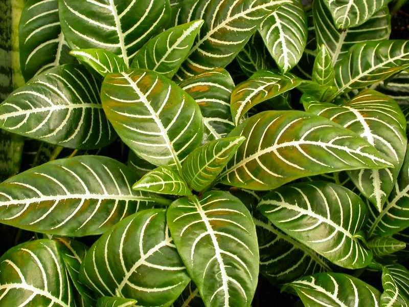 How%2Bto%2BGrow%2Band%2BCare%2Bfor%2BZe%2BPlants Broad Leaved Green Plant House on narrow leaved plants, tall leaved plants, large leaved plants, common plants, fine leaved plants, small leaved plants, gray leaved plants, rain forest plants, wide leaf plants,