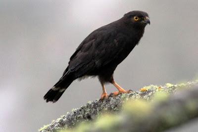 Gavilán negro Parabuteo leucorrhous