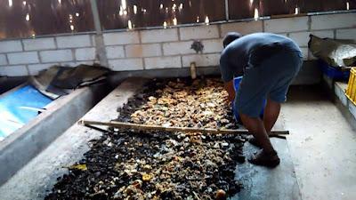 Langkah cara budidaya maggot bsf tanpa bau menggunakan media ampah tahu, dedak, emp4 , limbah sayuran, serabut kelapa dll.