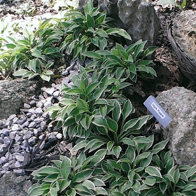 Hush Puppie hostas in rock garden