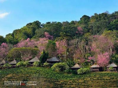 http://www.agoda.com/th-th/khumnaiphol-resort/hotel/mae-salong-chiang-rai-th.html?cid=1732276