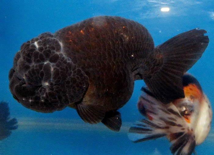 金魚快訊部落格Goldfish message blog: 水黴病-魚友提供
