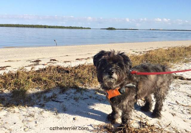 Oz the Terrier dog-friendly beach at Sanibel Island, Florida