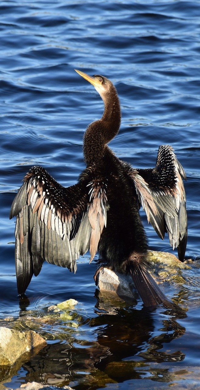 Amazing anhinga wing spread.