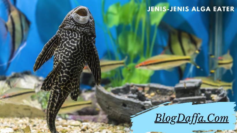 Alga Eater atau Ikan Pembersih Aquascape Terbaik