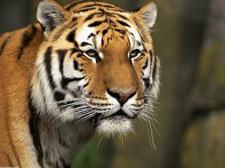 Foto tigre curioso