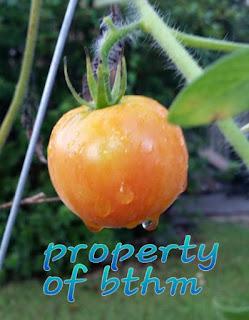 last summer tomato
