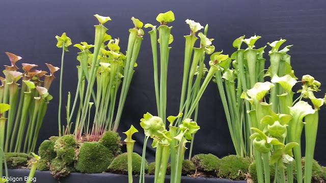 roraima, rośliny owadożerne