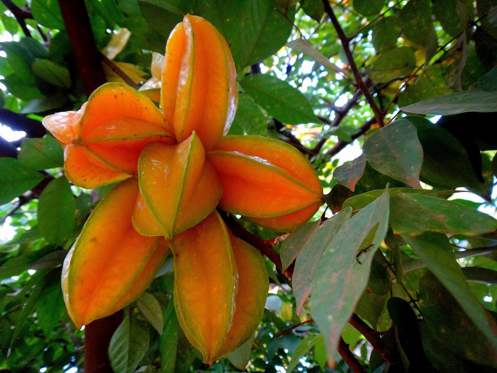 A Fruta Carambola Serve Para Que carambola - averrhoa carambola  natureza bela