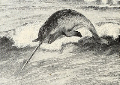 The narwhal is a whale with a horn on its head, which is really a tusk — a very long tooth — which has special purposes.