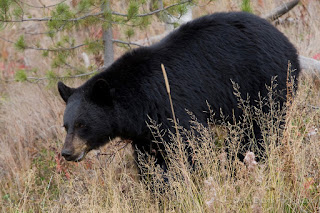 all about animal wildlife black bear facts and images