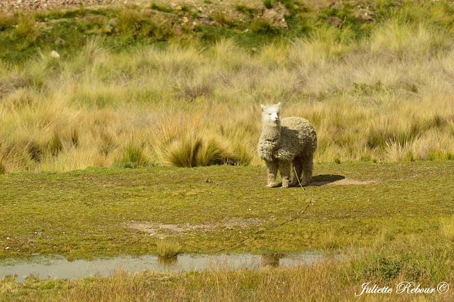 Alpaga au Pérou