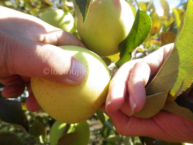 Fushoushan Farm apple picking