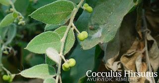கட்டுக்கொடி மாயஜல மருத்துவம் Cocculus-hirsutus-1024x535