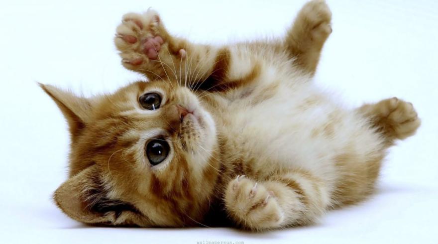 alahan-kucing