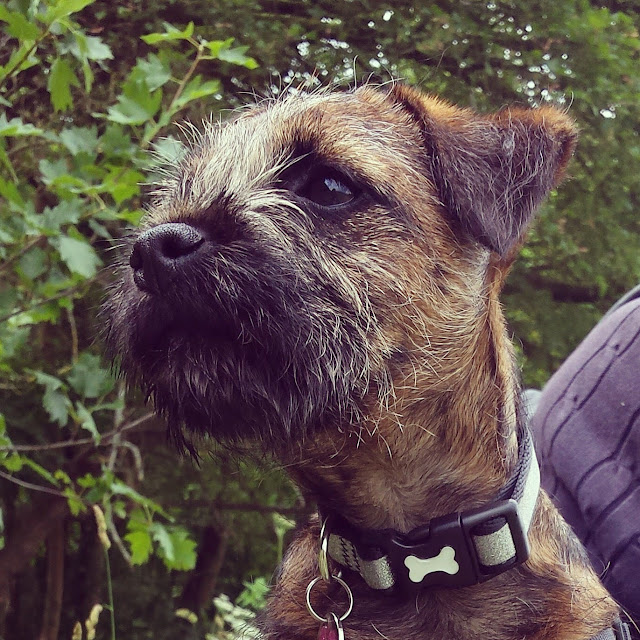 border terrier head photo