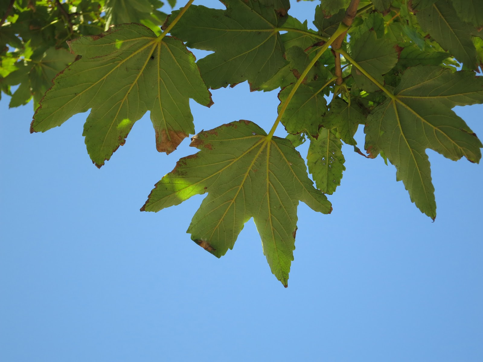 Leaves from below in front of a bright blue sky.