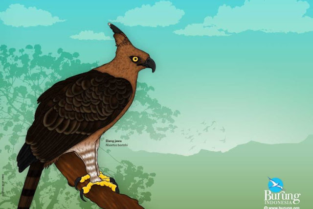 Perlukah Elang Jawa (Spizaetus bartelsi) dilestarikan?
